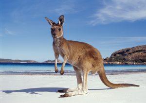 Kangaroo on beach South West